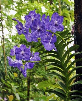 """Vanda """"Blue Magic"""" - orchideje s květy dokonce i v legendární modré jsou novinkou posledních let."""