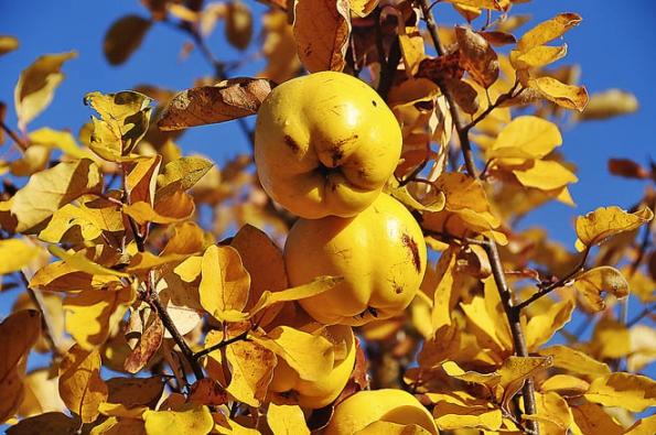 Zářivá podzimní barva kdouloní prosvětlí každou zahradu, kdoule dozrávají unás většinou vříjnu. Plody jsou velmi tvrdé, kulaténebo různě oválné či hruškovitě protáhlé avoňavé malvice jsou stypickým voskovaným povrchem.