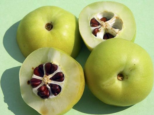 Plody kdoulovce jsou skvělou náhradou citronu, kterou si můžete vypěstovat téměř nakaždé zahradě.