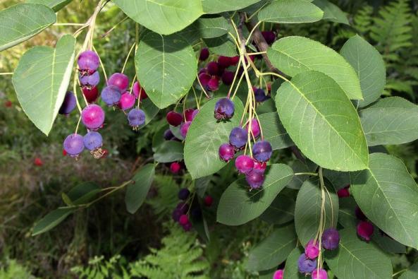 Muchovníků (Amelanchier sp.) neboli indiánských borůvek můžeme unás pěstovat několik druhů. Některé jsou keřovité, jiné zase rostou jako menší stromy, takže si vybere každý