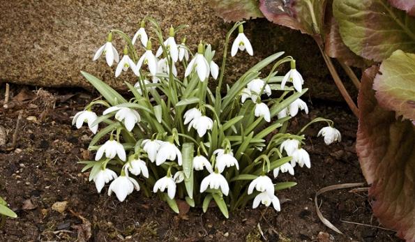 První sněženku vyhlíží skoro každý, v teplých zimách se objevuje už v únoru.