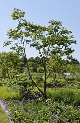 Většina stromů, které jsou vysazeny přímo dotrvalkových výsadeb, má přírodně působící víceramennou korunu.
