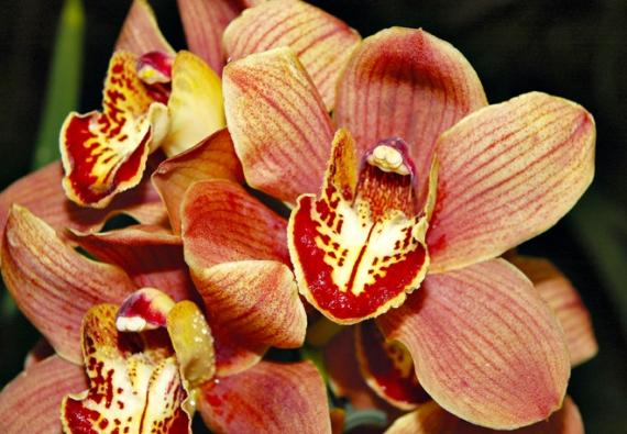 Odrůdy rodu Cymbidium mohou být velkokvěté i miniaturní, se vzpřímenými nebo převislými květenstvími.