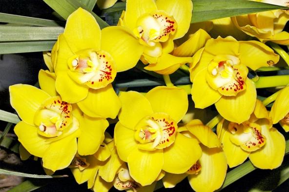 Jeden znejnovějších hybridů Cymbidium  'Golden Courtier' má sytě žluté květy svelmi dlouhou trvanlivostí.