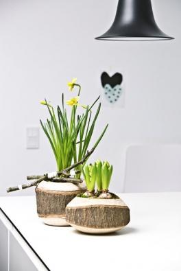 Narcisů je mnoho druhů. Divoce rostou voblastech jižní Evropy, Asie anaseveru Afriky. Jsou itypickou rostlinou anglických parků.