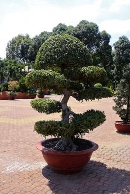 Mnohé druhy fíkusů patří mezi ideální rostliny nabonsajování. Lze je tvarovat dominiaturních misek naevropský okenní parapet idovelkých nádob sněkolikametrovými stromy, které krášlí asijské parky ivstupy dopagod.