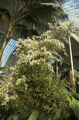 Ficus benjamina se pěstuje vmnoha kultivarech – drobnolisté formy, variegátní bíle pruhované amnoho dalších.