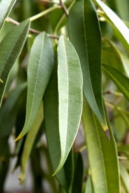 Úzkolistý Ficus binnendijkii pochází znížin Malajsie aSundských ostrovů. Potřebuje proto stálé vlhko apokojovou teplotu bez zimních poklesů aprůvanu – ideální klima je pro něj prádelna, ale snese iběžný byt.