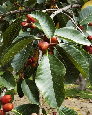 Nápadné červené plody mívá Ficus macrophylla. Vpřírodě je rozšířen najihu Asie aseveru Austrálie, pěstuje se však velmi často vparcích jižní Evropy.