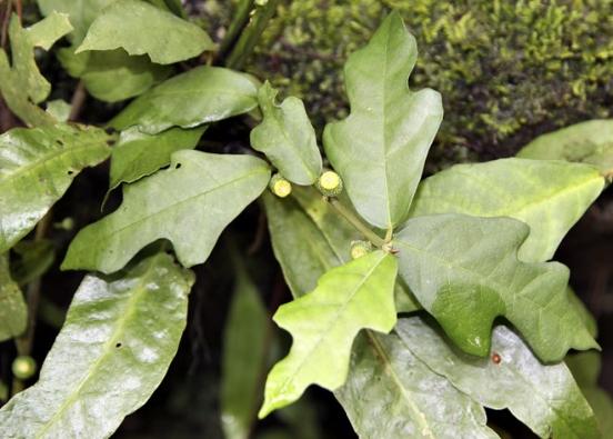 Drobný plazivý Ficus montana je nateplo méně náročný, ale raději mu dopřejte pokojovou teplotu.  Vpřírodě roste vpodhůří ahorských lesích jihovýchodní Asie, odIndie aBangladéše přes Malajský poloostrov aSundy až poNovou Guineu.