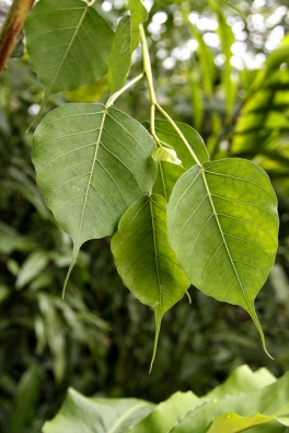 Ficus religiosa nelze zaměnit sžádným jiným druhem díky charakteristickému tvaru srdčitého listu svýrazně prodlouženou kapací špičkou. Tento tvar je výhodný při častých deštích, protože velmi dobře odvádí vodu.