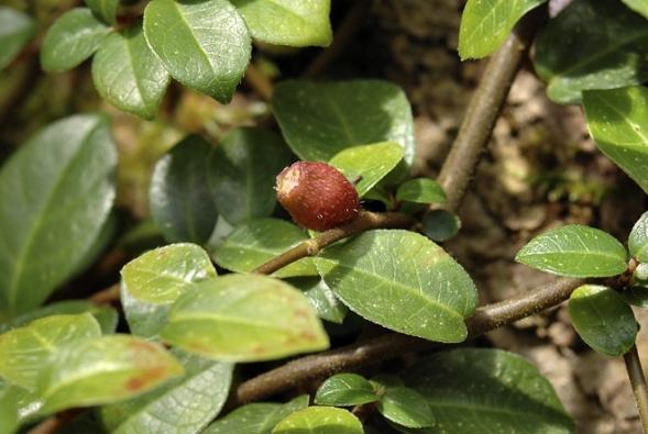 Plazivý drobnolistý Ficus vaccinifolia (česky borůvkolistý) dělá čest svému jménu. Pochází zhor Tchaj-wanu aje dost chladnomilný.