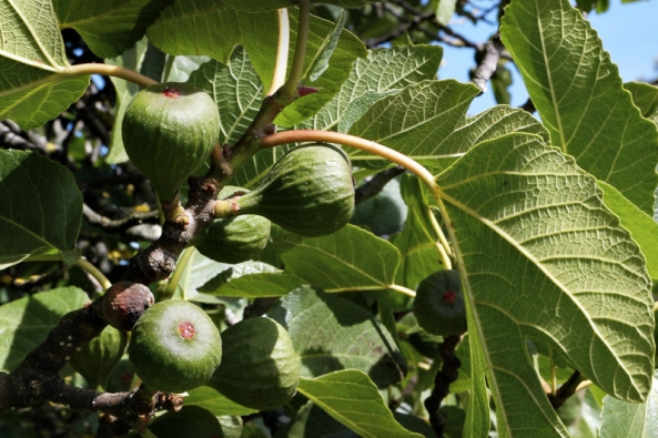 Nejznámějším fíkovníkem zmnoha stovek druhů je Ficus carica, fíkovník smokvoň. Pochází ze západní Asie alidé ho postupně rozšířili docelého Středomoří.