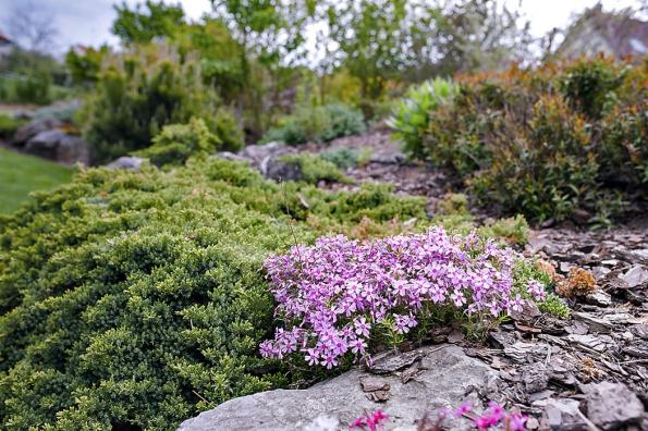 Během letních měsíců rozkvétají na zahradě polštářovité plamenky, které doplňují stálezelené jalovce prostřední.