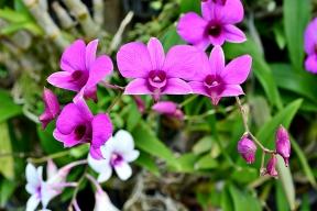 Dendrobium bigibbum vyžaduje celoročně pokojové teploty a také kvete po celý rok.
