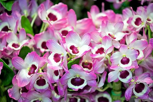 Dendrobium nobile potřebuje zimování při teplotách kolem 10 °C a velmi mírnou zálivku.
