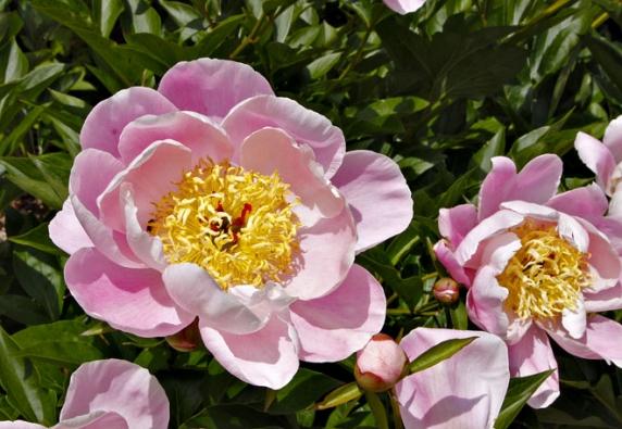 Pivoňka odrůdy ´Gleam of Light´ má krásný růžový odstín okvětních lístků vkontrastu kežlutým pylovým tyčinkám.