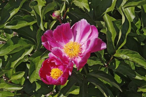 Pivoňka bělokvětá často mívá květy vrůžových ačervených odstínech, plnokvětost je však vyšlechtěná, původní druh má květy jednoduché.