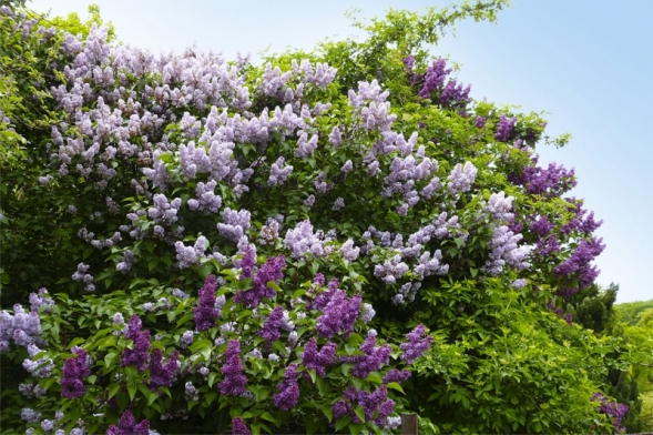 Šeřík (Syringa) je nádherný keř, který můžeme ihned poodkvětu mírně zakrátit kprvnímu dobře vyvinutému větvení (o20 – 40 cm). Poodstranění odkvetlých květů se nebude zbytečně vysilovat tvorbou semen anavíc bude ilépe vypadat.