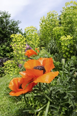 Pokud jeho kořeny nezhltnou hryzci, rozvine mák východní květy velké jako dezertní talíře. Vdoprovodu středozemního pryšce upoutávají pozornost už odzahradní brány.