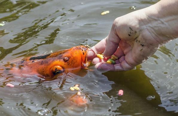 Seznamte se skoi kaprem Karlem. Má zářivě oranžovou barvu, občas navás chrstne vodu astrašně rád se nechává krmit zruky. Komu by se posetkání sním nezlepšila nálada?