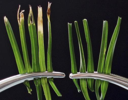 Rozdíl mezi trávou pokosenou běžnou sekačkou a vřetenovou sekačkou je po zvětšení markantní. Konečky travních stébel vlevo jsou uražené  a roztřepené, vpravo jsou čistě zastřižené.