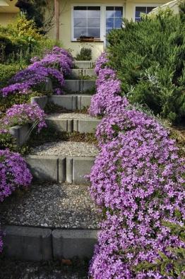 Plamenka šídlolistá (Phlox subulata) dokáže zarůst opravdu velké plochy a zdobit třeba inepříliš vzhledné schody.