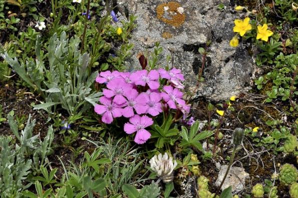 Hvozdíky (Dianthus) ozdobí skalku vkvětnu ačervnu, vprodeji bývá značné množství kultivarů, které jsou mnohem odolnější než původní druhy.