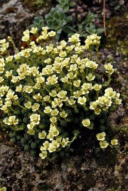 Polštářky lomikamenů (Saxifraga) sekce Porophyllum, lze pěstovat ivmísách akorytech. Žlutá odrůda 'Sherlock Holmes' je jednou zněkolika stovek, které se běžně prodávají.
