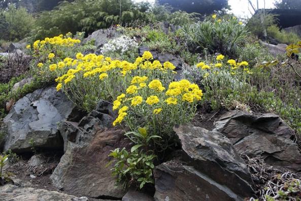 Tařice skalní (Aurinia saxatilis) potěší již vdubnu, dařit se jí bude ve skromných podmínkách skalních škvír ave štěrkové půdě.