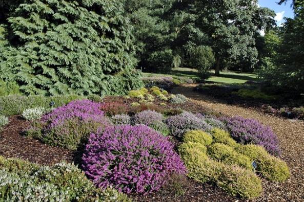 Různé odrůdy vřesovců kvetou vrozdílnou dobu, výsadba tak během sezony několikrát změní barvu.