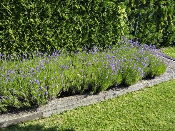 Živé ploty astěny zjehličnanů působí mnohdy fádně, nadruhou stranu umožní skvěle vyniknout ostatním rostlinám vjejich blízkosti.