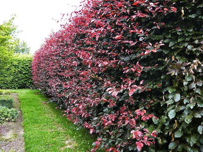 Při výsadbě živého plotu můžete popustit uzdu své fantazie apoužít ibarevně výrazné druhy. Červenou barvou zaujme například buk lesní vkultivaru Atropurpurea.