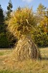 V zahradě ostříhejte a odstraňte všechny odkvetlé a zaschlé trvalky i letničky. Vysoké okrasné trávy jako Miscanthus, Cortaderia nebo Arundo se před zimou svážou do snopů nastojato. Ty nejchoulostivější můžete navíc obalit bublinkovou fólií. Trávy však v žádném případě nestříhejte, při zimních deštích by voda zatekla stébly až ke kořenům a mráz by roztrhal báze stébel. Rostliny by pak odumřely.