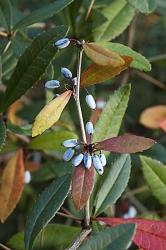 Dřišťál (Berberis) patří kvelmi často vysazovaným keřům. Hodí se doskupinek ijako živý plot, najaře potěší květy, napodzim hezkým zbarvením ačervenými nebo modrými plody.