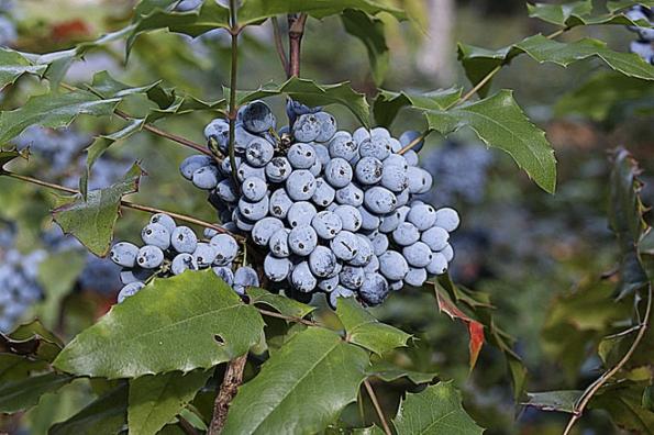 Mahónie cesmínolistá (Mahonia aquifolium) je považována zakeř vhodný hlavně nahřbitovy. Napodzim má tmavě modré plody, ale listy krásně zčervenají anajaře kvete zářivě žlutě.