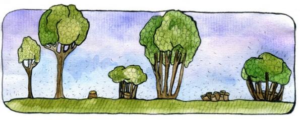 Časová osa kopicovacího cyklu, odmladého stromku přes mladý strom vhodný kprvnímu seříznutí až potrvalý, vícekmenný pravidelně sklízený strom, stypickým vzhledem pro tento způsob trvale udržitelného pěstování dřeva.