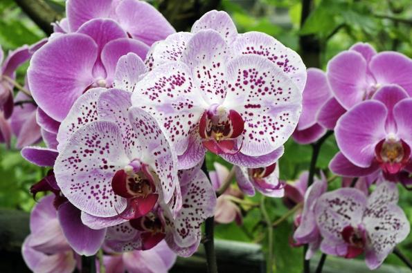 Stále více lidí podléhá kouzlu orchidejí a exotické květy rodů Phalaenopsis a Dendrobium zdobí okna ve městech i na venkově. Zima má však svá úskalí a občas bývá pěstitel zklamán náhlým rychlým uhynutím kvetoucí zdravé rostliny. Orchideje jsou totiž velmi citlivé na studený průvan, a pokud v mrazivém počasí otevřete okno na teplomilný Phalaenopsis, velmi často se s ním musíte rozloučit. Osudné bývá i přílišné zalévání a studená voda, raději méně zalévejte a nechte kořeny trochu proschnout.