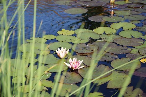 Voda dozahrady láká různé druhy užitečného hmyzu aptactvo, které se rádo koupe hlavně vevodě vevývěru napískovcovém bloku. Vlétě pak nahladině rozkvetou krásné lekníny.