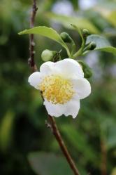 Květy čajovníku jsou široké 2–3cm avždy bílé. Nejlépe kvetou rostliny vyletněné venku nazahradě, které projdou obdobím podzimního poklesu teploty pár stupňů nad nulou.