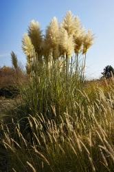 Pampová tráva (Cortaderia selloana) přináší dozahrady exotický šmrnc aneobvyklost. Kvete až napodzim aje citlivější naholomrazy.