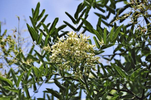 Je mnoho krásných původních stromů znaší přírody, které si můžete vysadit inazahradě. Pro jerlín však mluví jeho letní kvetení. Udělá též včelkám velikou radost, protože ovocné stromy, které opylovaly najaře, už vtuto dobu žádné květy nemají.