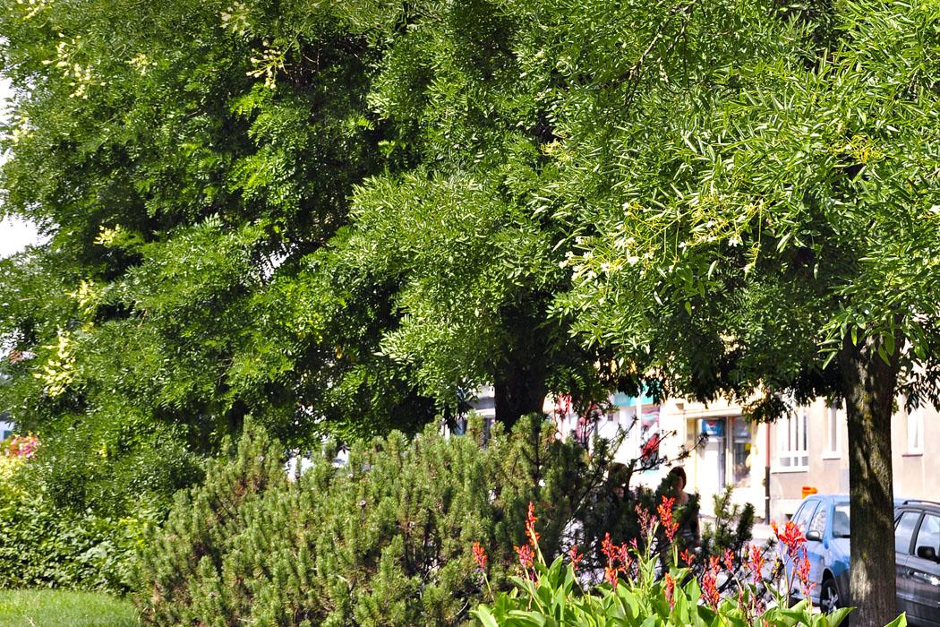 Jerlín japonský - krásný amálo známý strom