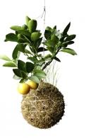 Citroník (Citrus limon) je stálezelená rostlina původem ze subtropů. Bude se mu líbit v zimní zahradě, dodá jí kouzelnou exotickou atmosféru, svěží barvy a výraznou vůni.