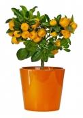 Mandarinky (Citrus reticulata, Citrus clementina) potěší voňavými květy a jako všechny citrusy také vylučují další vonné silice obohacující vzduch. Plody se samozřejmě mohou konzumovat.