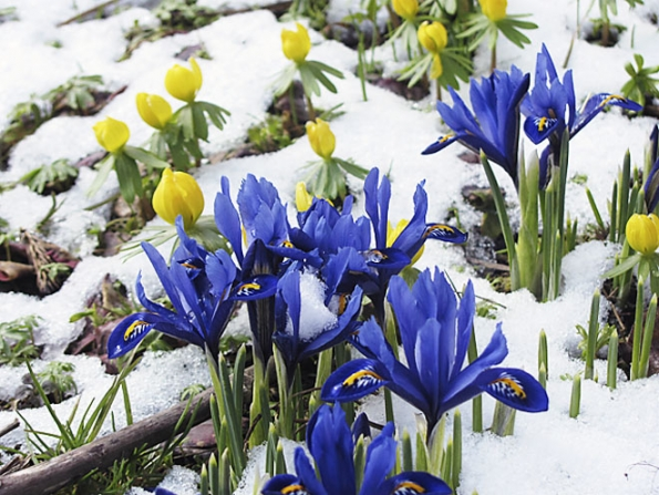 Kosatec síťkovaný (Iris reticulata) atalovín zimní (Eranthis hyemalis)