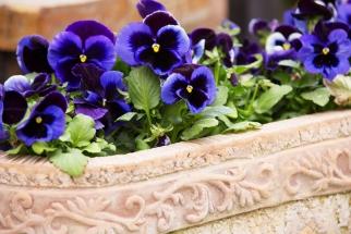 Pokud se už nemůžete dočkat rozkvetlých rostlinek, vysaďte si do truhlíku macešky. Mrazíky květům nevadí, vydrží kvést až do května.