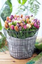 Tulipánů je mnoho druhů od raných odrůd po pozdní, plnokvětých či jednoduchých.