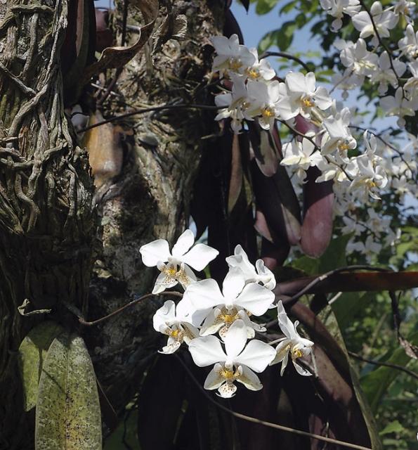 Spatřit velký rozkvetlý trs orchideje v jejich tropické domovině patří k silným zážitkům. Orchideje však z přírody mizí tak rychle, že se možná dočkáme konce mnoha z nich.