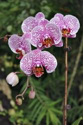 Skvrnité velké květy se objevily unových kříženců teprve nedávno. Působivé bývají hlavně uodrůd smohutným vzrůstem abohatým květenstvím.